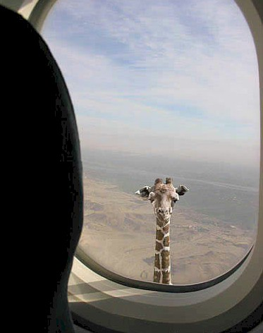 very-tall-giraffe